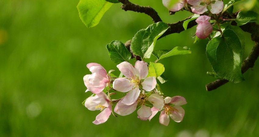 Apfelblühte am Baum